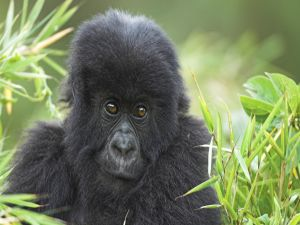 Small gorilla