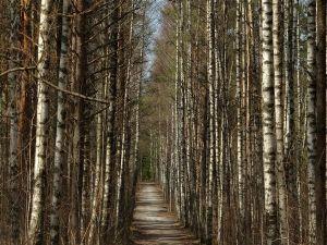 Road between thin trees
