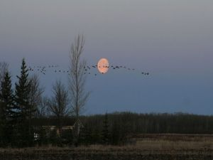 Birds crossing the sky next to the moon