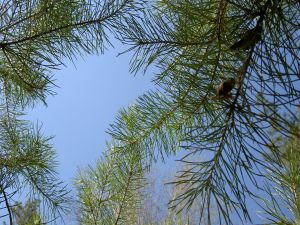 Branches of a pine