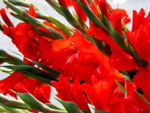 Bouquet of red gladioli