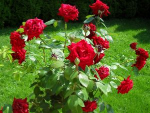 Plant with red roses
