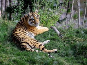 Nice tiger lying in the grass