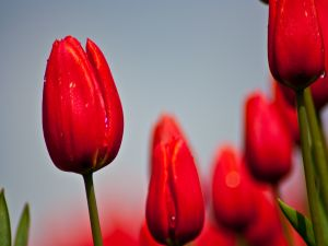 Closed red tulips