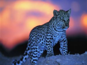 Cheetah cub at night