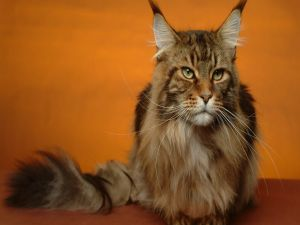 Cat with pointed ears