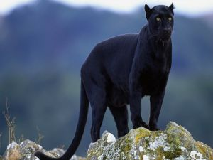 Black panther on the rocks