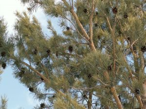 Pine cones on the branches of a pine