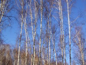 Trees under a blue sky