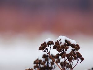 Snow on the dried plants