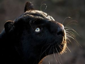 The face of a panther