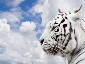 The head of a white tiger