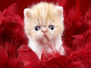 Kitten between red feathers