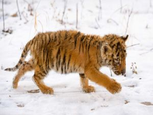 Tiger cub playing in the snow