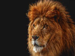 The lion's gaze