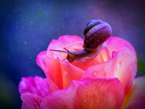 Snail over a rose
