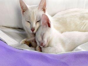 White female cat with her kitten
