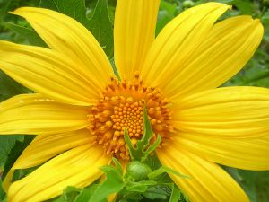 Yellow flower with large petals