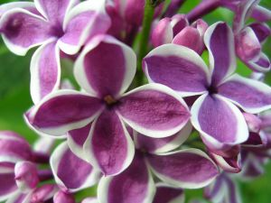 Purple flowers with white edge