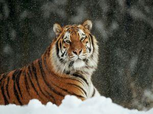 It snows on a big tiger