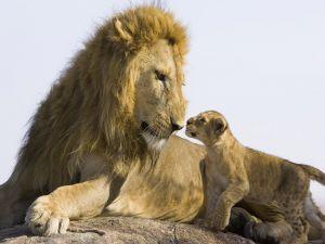 Lion looks the cub