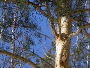 Trunk and branches of a pine