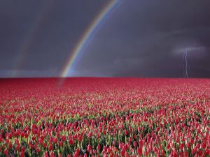 Rainbow in a field of tulips