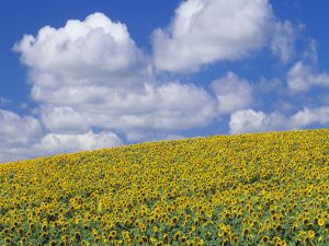 Field with many sunflowers