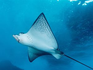 Lower part of an stingray