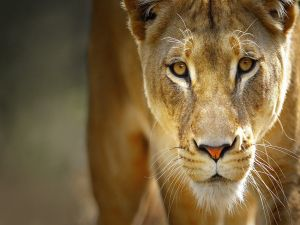 The gaze of the lioness