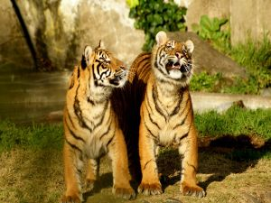 Two young tigers