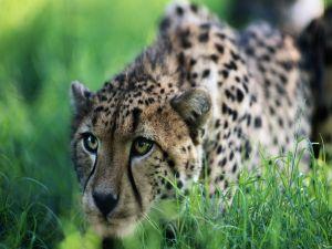 Crouched cheetah
