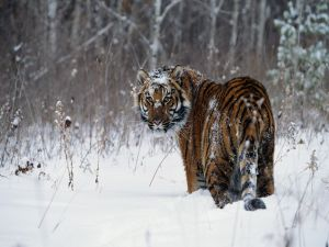 Tiger in a snowy place