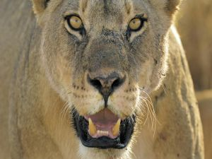 The fangs of the lioness
