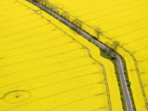 Road through a yellow field