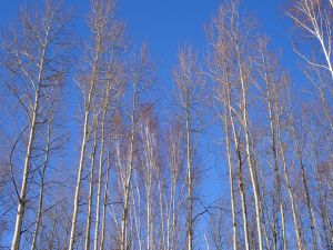 Long trees without leaves