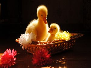 Little ducklings in a basket