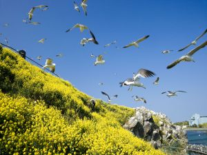 Gulls and yellow flowers