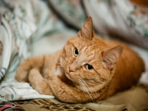 A cat lying
