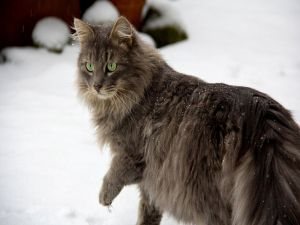 Cat with green eyes in the snow