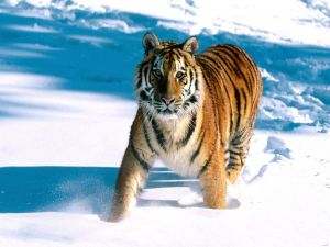 Young tiger in the snow