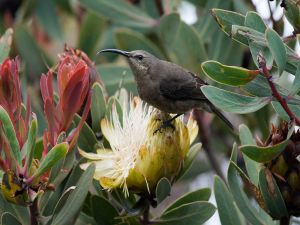 Malachite Sunbird (Nectarinia famosa) on a flower