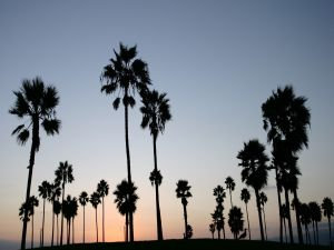 Palm trees at nightfall