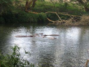 Hippos in Tsavo River, in Tsavo West National Park, Kenya