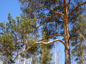 The branches of a pine