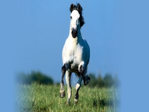 White horse running in the grass