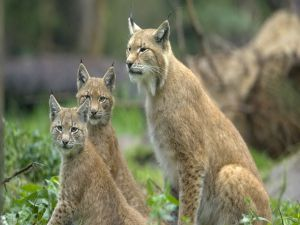 Three precious lynxes