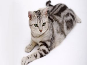 Cat with black stripes