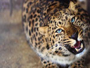 The fangs of leopard
