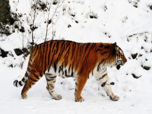 Big tiger walking in snow